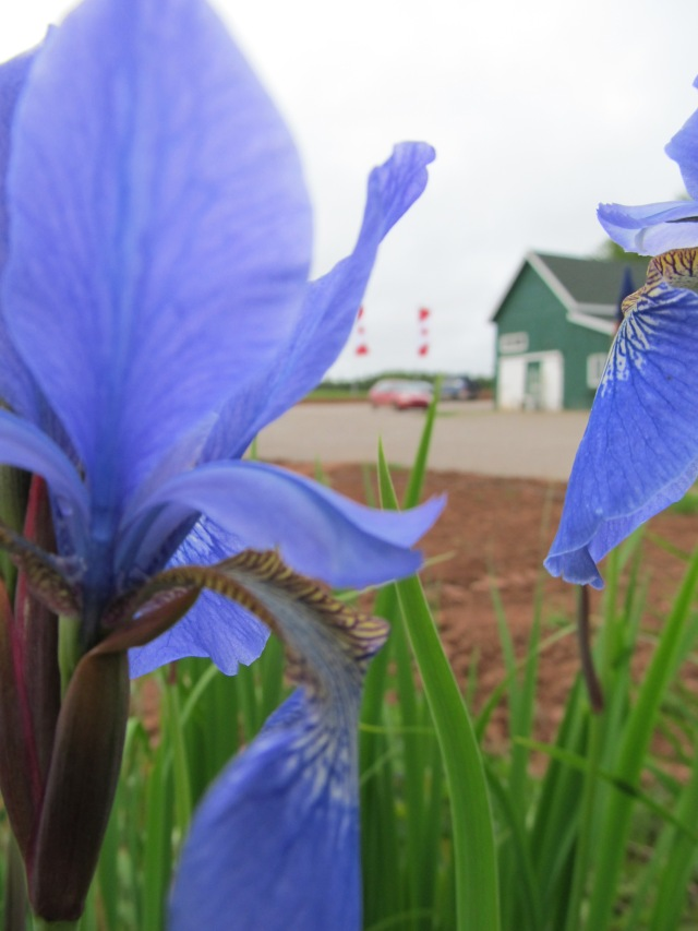 Our barn right where it should be - between the flags and the flowers