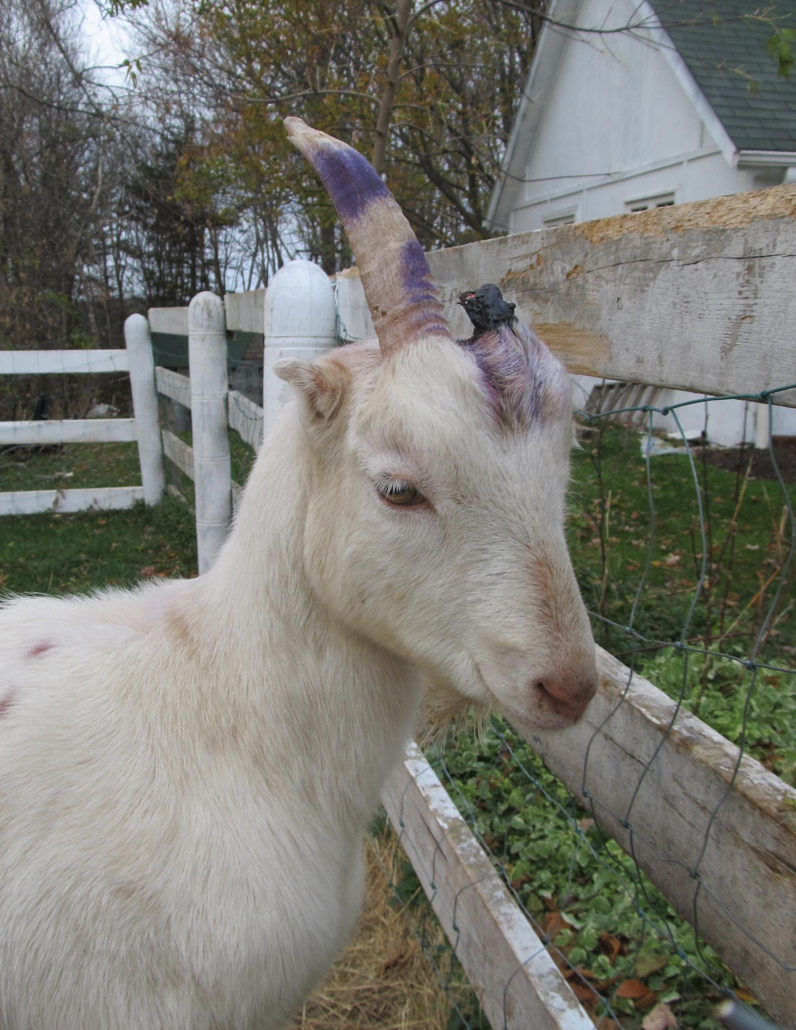 A Goat S Journey Over Life S: Goats' Notes