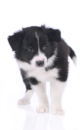 boarder-collie-puppy